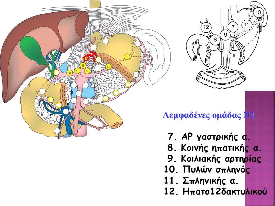 Λεμφαδένες ομάδας Ν2 7. ΑΡ γαστρικής α. 8. Κοινής ηπατικής α. 9. Κοιλιακής αρτηρίας. 10. Πυλών σπληνός.