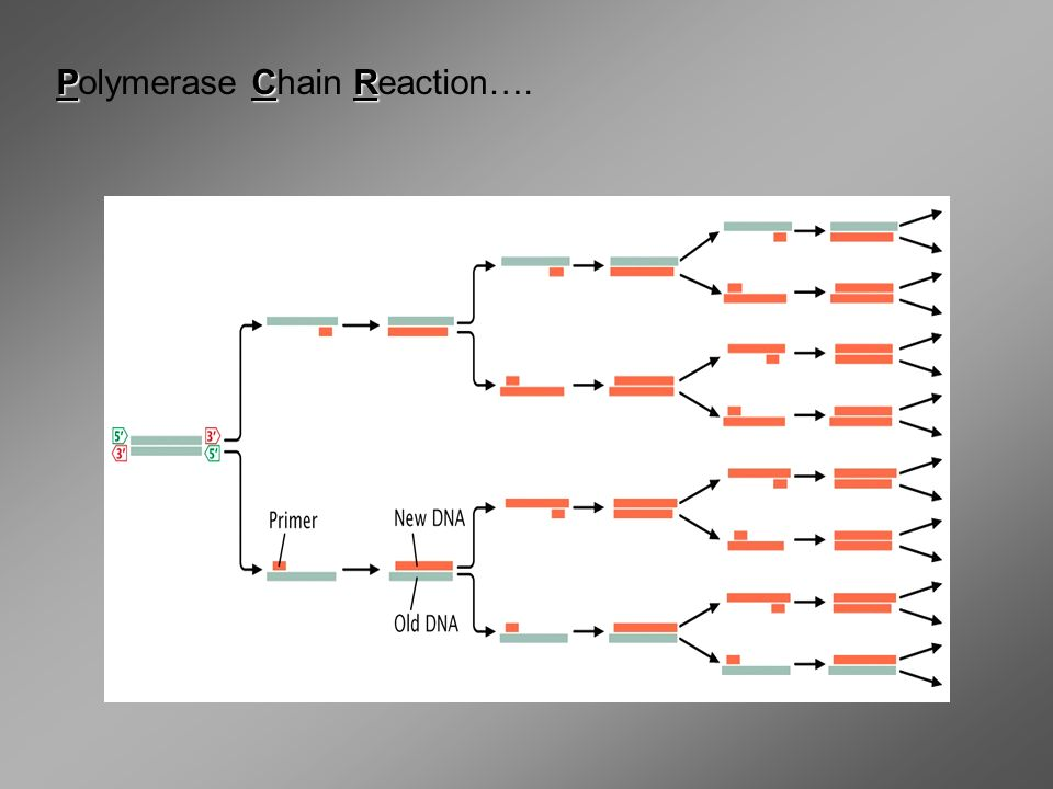 Polymerase Chain Reaction….