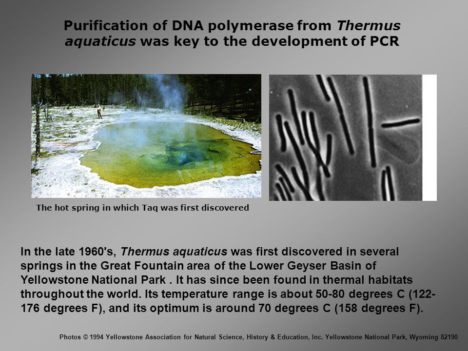 Purification of DNA polymerase from Thermus aquaticus was key to the development of PCR