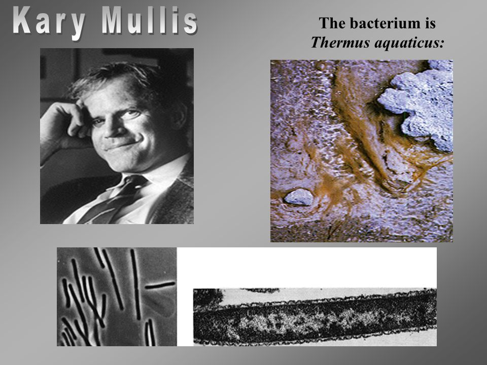The bacterium is Thermus aquaticus:
