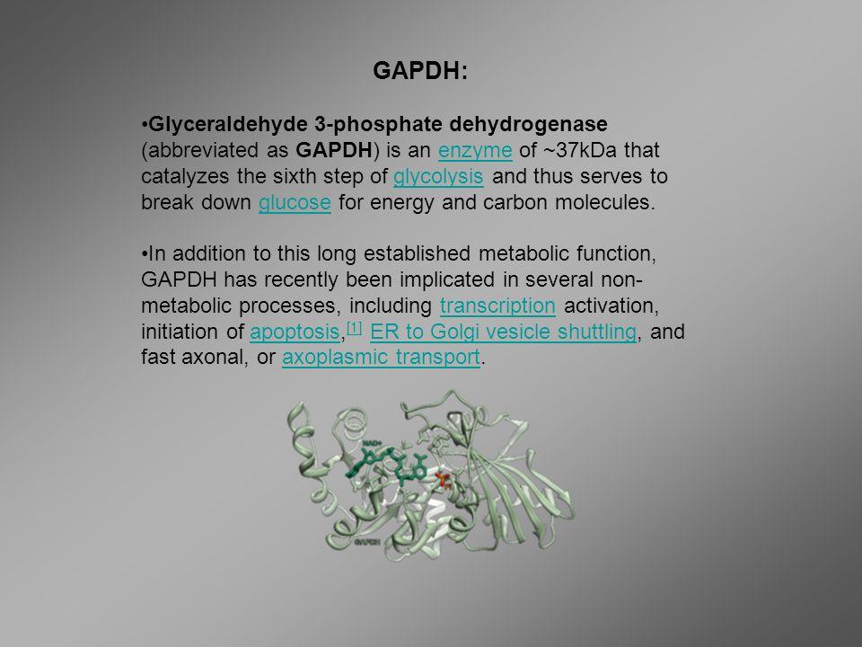 GAPDH: