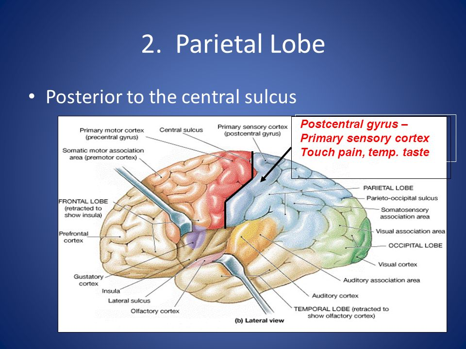 2. Parietal Lobe Posterior to the central sulcus Postcentral gyrus –