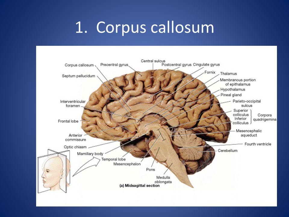 1. Corpus callosum
