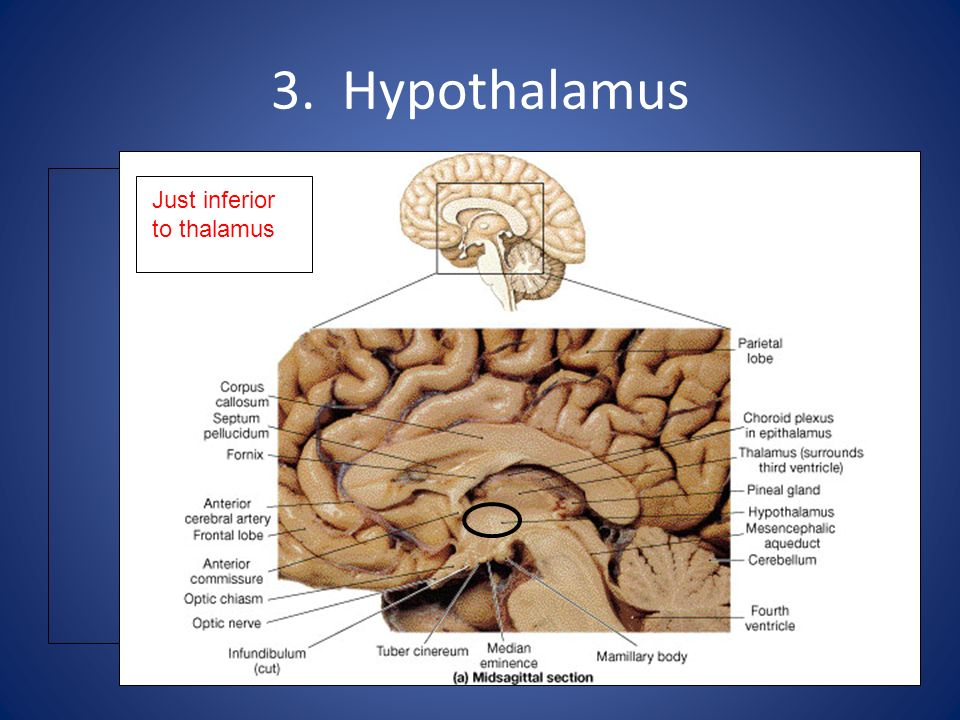 3. Hypothalamus Just inferior to thalamus