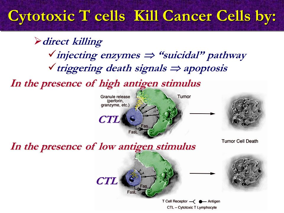 Cytotoxic T cells Kill Cancer Cells by: