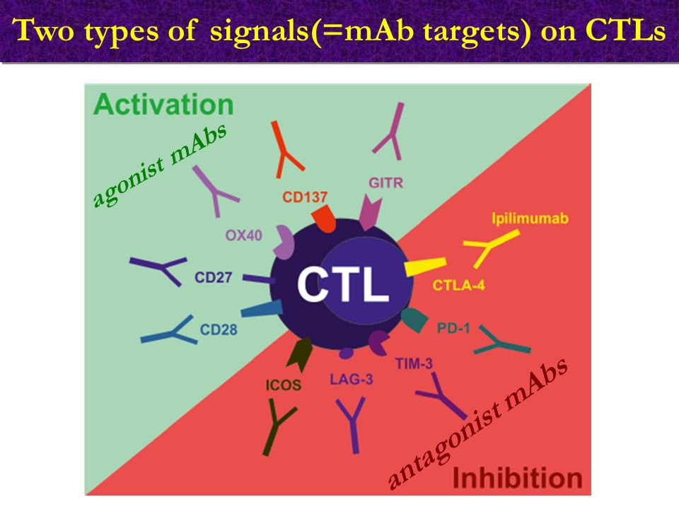 Two types of signals(=mAb targets) on CTLs