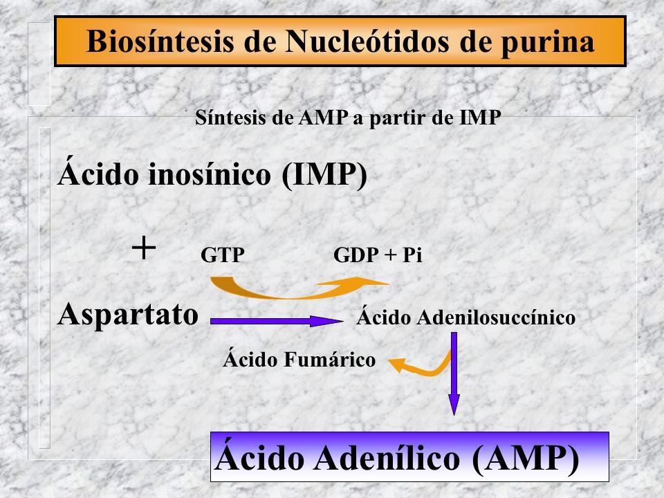 Biosíntesis de Nucleótidos de purina Síntesis de AMP a partir de IMP