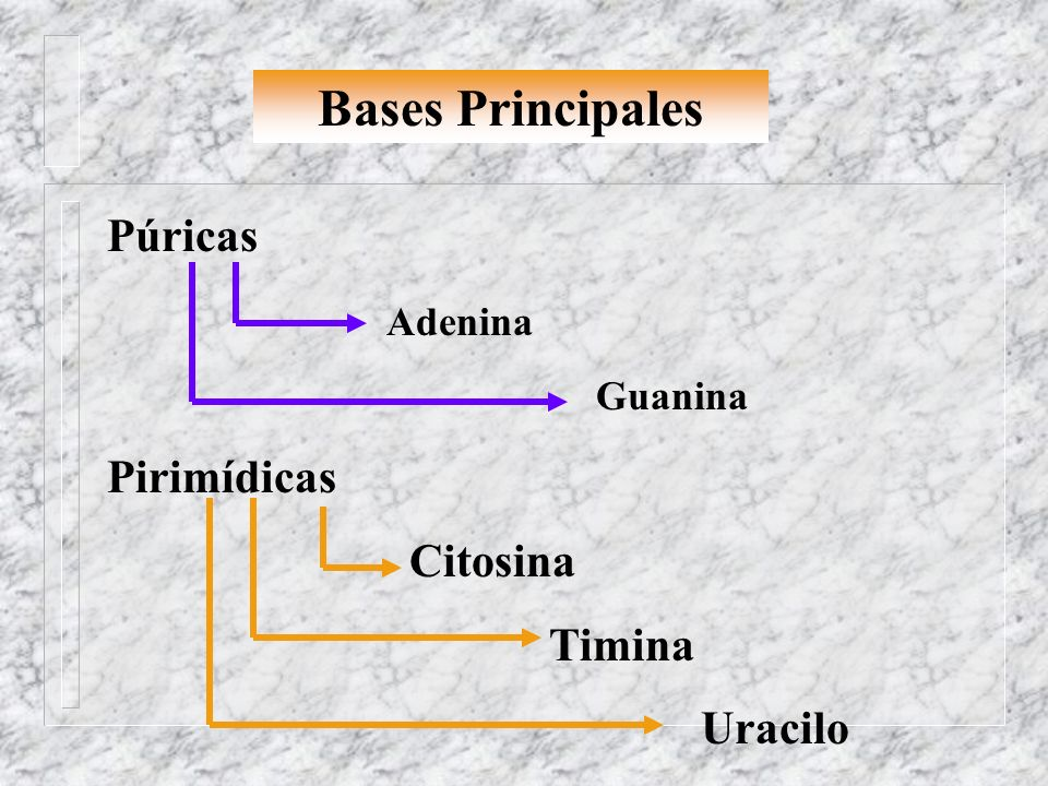Bases Principales Púricas Adenina Pirimídicas Citosina Timina Uracilo