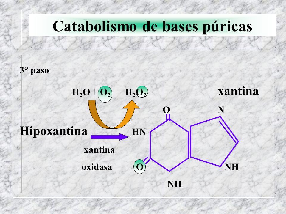 Catabolismo de bases púricas