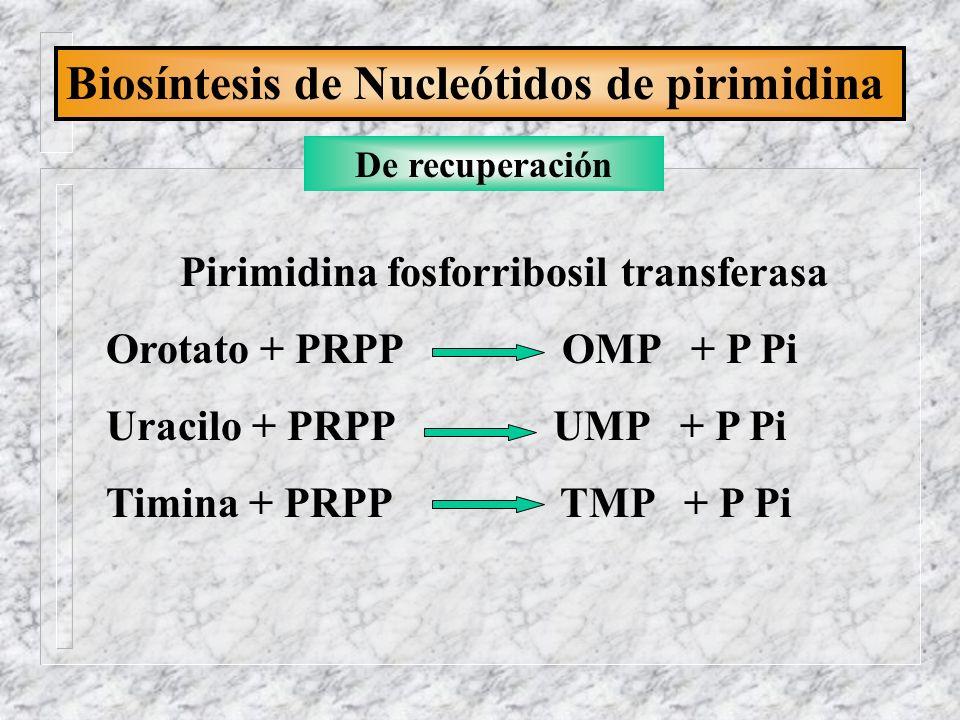 Pirimidina fosforribosil transferasa