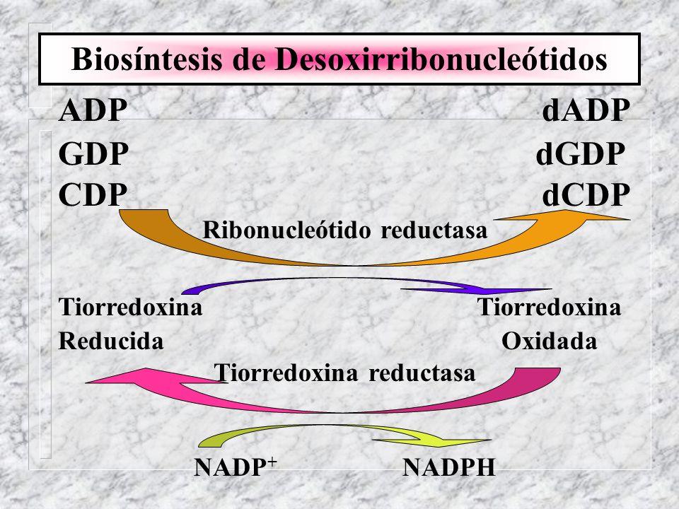 Biosíntesis de Desoxirribonucleótidos