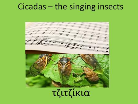 "Cicadas – the singing insects τζιτζίκια. ""Singers"" are only the male cicadas Τραγουδιστές είναι μόνο τα αρσενικά τζιτζίκια."