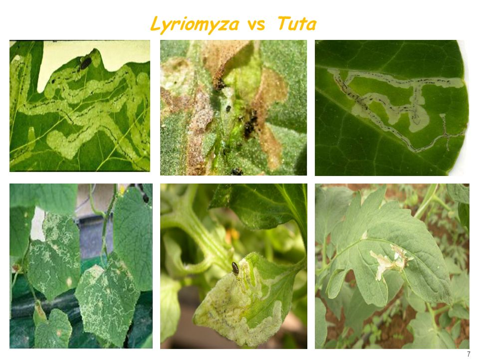 Lyriomyza vs Tuta