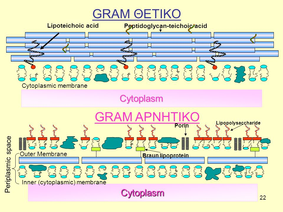GRAM ΘΕΤΙΚΟ GRAM ΑΡΝΗΤΙΚΟ Cytoplasm Cytoplasm Periplasmic space