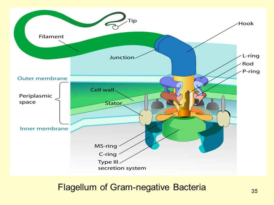 Flagellum of Gram-negative Bacteria