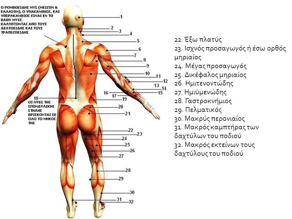 Image result for Ανθρώπινος Μυικός Ιστός Οπίσθια Όψη