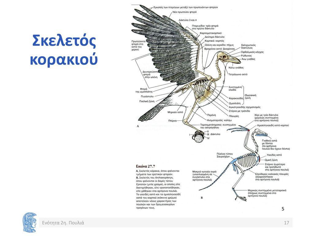 φλέβες μεγάλο πουλί