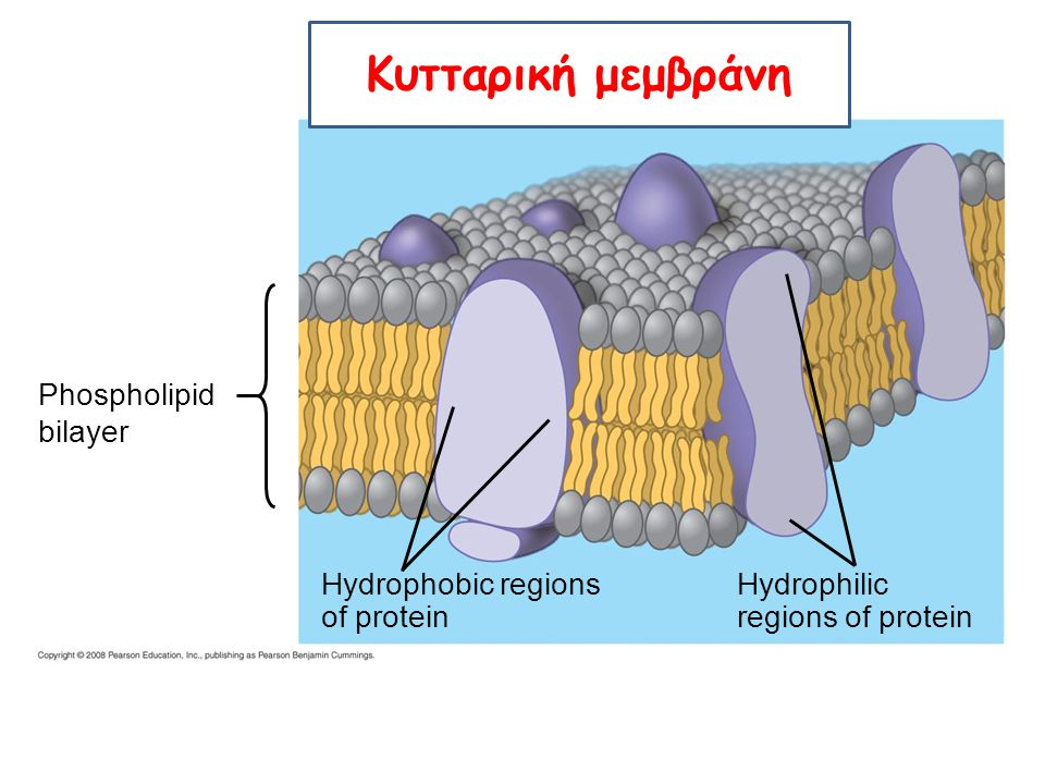 Κυτταρική μεμβράνη Phospholipid bilayer Hydrophobic regions of protein