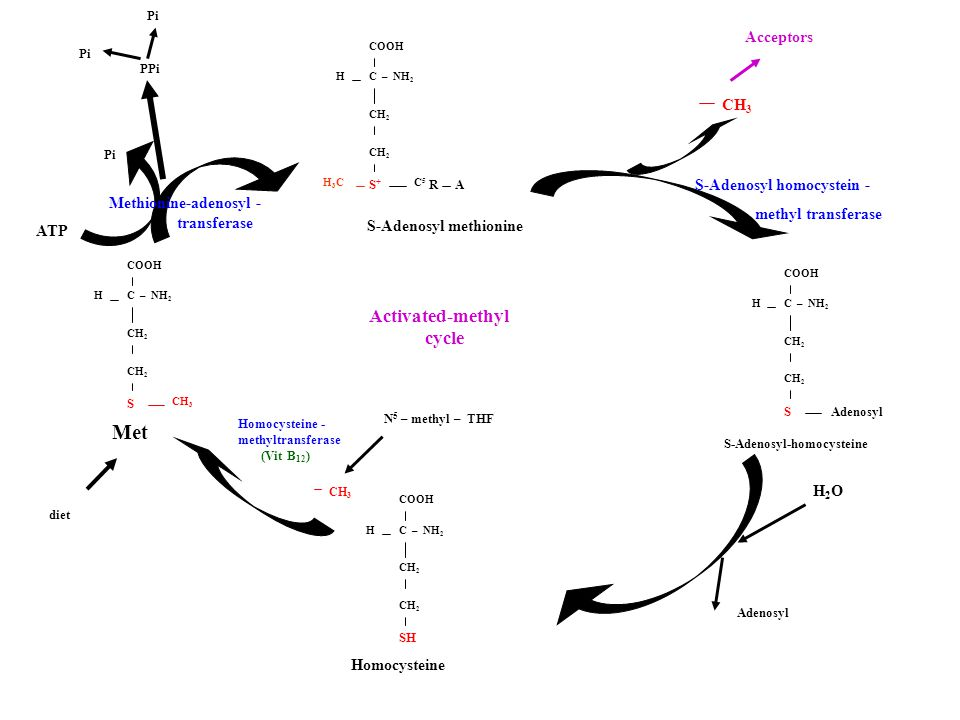 Met Activated-methyl cycle Acceptors CH3 S-Adenosyl homocystein -