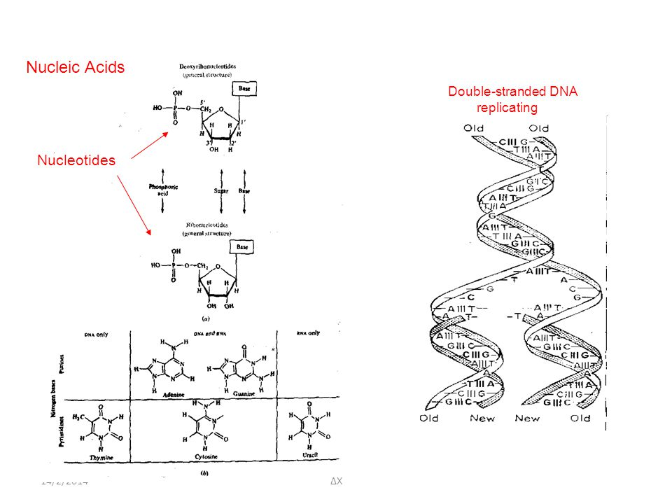Nucleic Acids Double-stranded DNA replicating Nucleotides 14/2/2014 ΔΧ