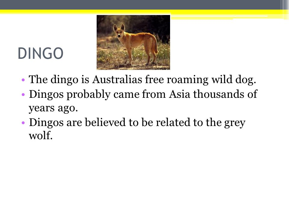 DINGO The dingo is Australias free roaming wild dog.