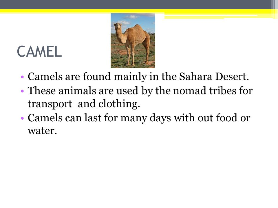 CAMEL Camels are found mainly in the Sahara Desert.