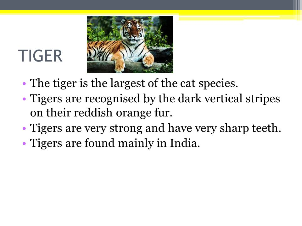 TIGER The tiger is the largest of the cat species.
