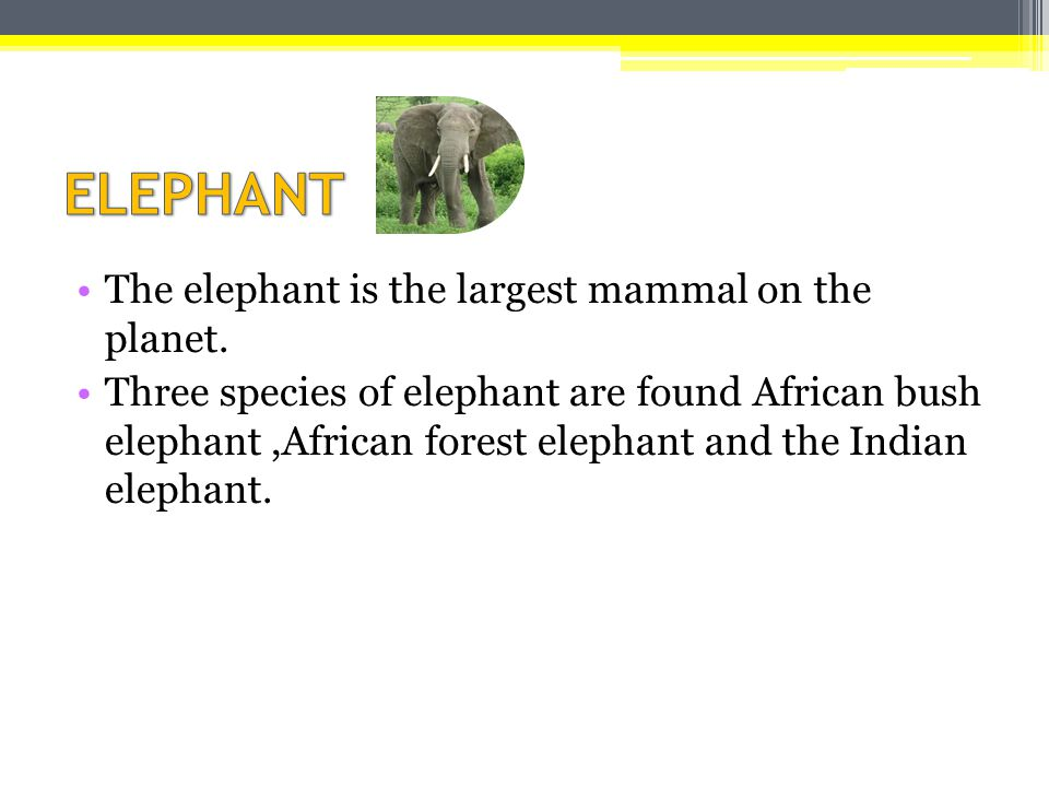 ELEPHANT The elephant is the largest mammal on the planet.