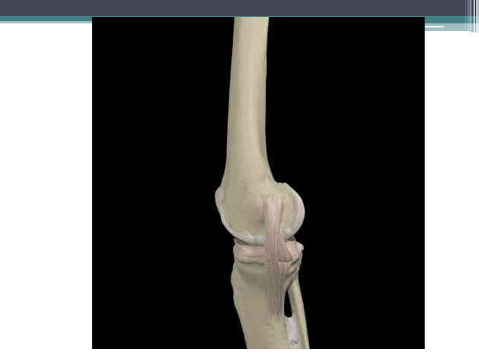 Medial Collateral Ligament (Syn