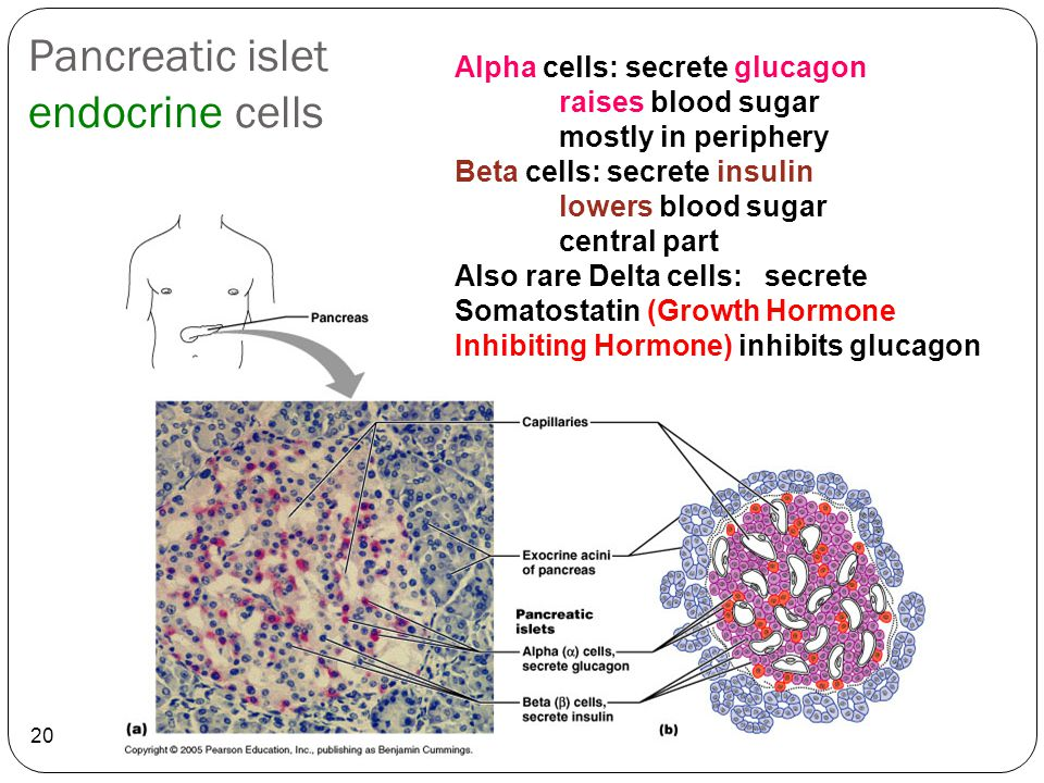 Pancreatic islet endocrine cells