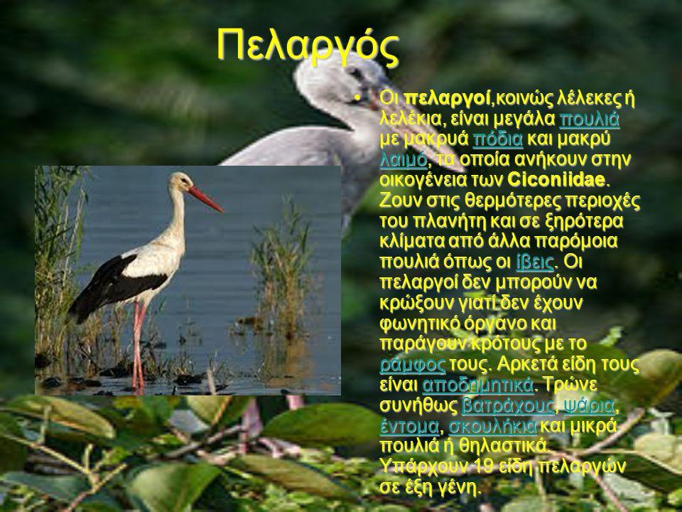 μεγάλο Ινδονησιακά πουλί